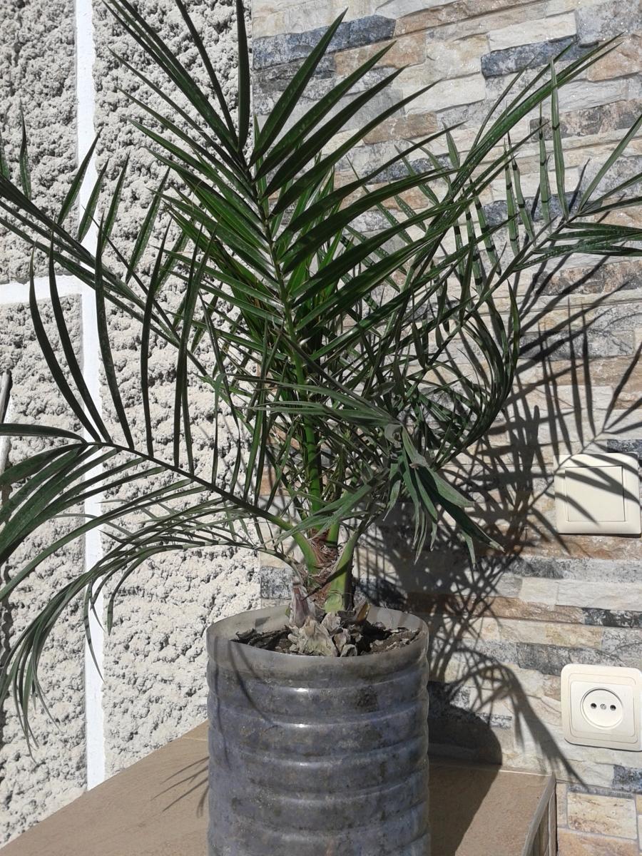 Пальмы из косточки в домашних условиях
